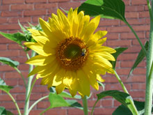 Sunflower Garden Dedication